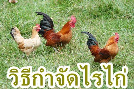 วิธีกำจัดไรไก่