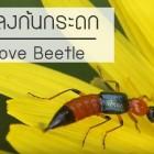 แมลงก้นกระดก ตัวเล็กแต่อันตราย วิธีรักษาและป้องกันที่คุณควรรู้