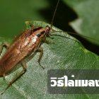 15 วิธีไล่แมลงสาบออกจากห้อง หรือบ้านของเรา ทำง่ายและได้ผลดีมาก
